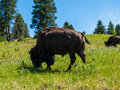 Large american bison at the national range in montana usa Stock Photography