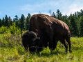 Large american bison at the national range in montana usa Stock Images