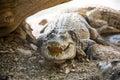 Large American crocodile Royalty Free Stock Photo