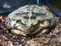 Large amphibious frog - Bufo marinus Royalty Free Stock Photo