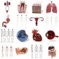 Large anatomy set