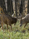 Large Antlered Deer Fighting Royalty Free Stock Photo