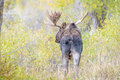 Large Antlers Bull Moose in yellow forest Royalty Free Stock Photo