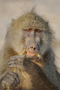 Large ape eating a green root alpha male chacma baboon the photographed in southern africa Stock Image
