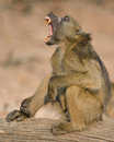 Large ape yawing and showing its teeth alpha male yawning a photographed in southern africa Stock Photos