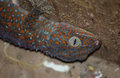 Large Asian Gecko Revealed in Hiding Spot Royalty Free Stock Photo