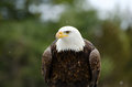 Large bald eagle against blurred trees Stock Photos