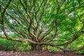 Large Banyan tree in Maui, HI along the Pipiwai trail near the road to Hana Royalty Free Stock Photo