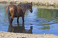 Large bay wild horse at watering hole a mustang standing in the water of a in summer Royalty Free Stock Photos