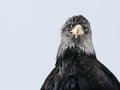 A large beak and sharp eyes head shoulders of bald eagle Royalty Free Stock Photography