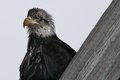 A large beak and sharp eyes profile shot of bald eagle Royalty Free Stock Image