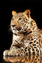 Large beautiful leopard Royalty Free Stock Images