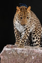 Large beautiful leopard portrait of on black background Royalty Free Stock Photography