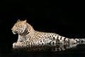 Large beautiful leopard portrait of on black background Royalty Free Stock Photo