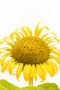 A large beautiful sunflower on white background yellow the Royalty Free Stock Image