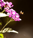 The large Bee Fly Royalty Free Stock Images