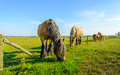 Large Belgian horse is eating grass at the other side Royalty Free Stock Photo