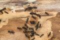 Large black ants on firewood Royalty Free Stock Photo