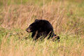 Large black bear feeding on nuts in an open meadow in smoky mountain national park Stock Photography