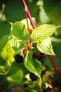 Large black berries garden blackberries, growing a brush on the background of green foliage on the branches of a bush. Royalty Free Stock Photo