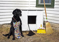 Large black dog wearing a spring print apron and having a feather duster dust pan and broom so he can clean his dog house Stock Photo