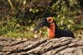 Large black and orange bird eating Royalty Free Stock Photography