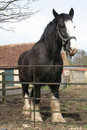 Large Black Shire Horse Royalty Free Stock Photography