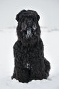 Large black terrier with muzzle in the snow Stock Photos