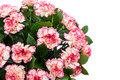 Large bouquet of bright colorful carnations Royalty Free Stock Photo