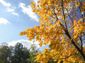 A large, bright, beautiful maple tree blazes with its bright, autumn foliage Royalty Free Stock Photo