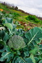 Large broccoli plant Royalty Free Stock Photo