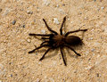 Large Brown Spider Stock Image