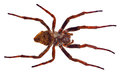 Large brown spider isolated on white background Royalty Free Stock Photos