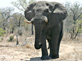 Large bull elephant Royalty Free Stock Photo
