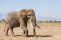 Large Bull Elephant in Amboseli, Kenya Royalty Free Stock Photo
