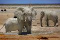 A large Bull elephant near a waterhole in Etosha Royalty Free Stock Photo