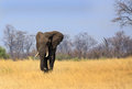 Large Bull Elephant walking across the open plains in Zimbabwe Royalty Free Stock Photo