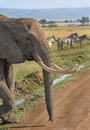 Large Bull elephant with zebra in the background Royalty Free Stock Photo
