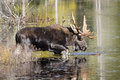 Large Bull Moose Foraging at the Edge of a Lake in Autumn Royalty Free Stock Photo