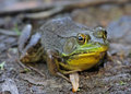 Large Bullfrog Royalty Free Stock Images