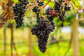 large bunches of red wine grapes hang from a vine, warm backgro Royalty Free Stock Photo