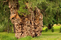 Large burl covered willowtree willow tree with burls Royalty Free Stock Photography