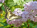Large butterfly colorful on lilac flower Stock Images