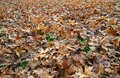 Large carpet of leaves on the ground in autumn Royalty Free Stock Photo