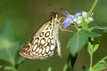 Large chequered skipper Royalty Free Stock Photo