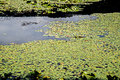 A Large Cluster of Lily Pads Royalty Free Stock Photo