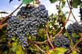 Large cluster of ripe Sangiovese grapes Royalty Free Stock Photos