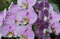 Large Collection of Pale Pink Orchids Royalty Free Stock Photo