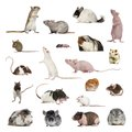 Large collection of rodent, pet and exotic, in different position Royalty Free Stock Photo