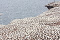 Large colony of northern gannets in Bonaventure Island (Quebec) Royalty Free Stock Photo